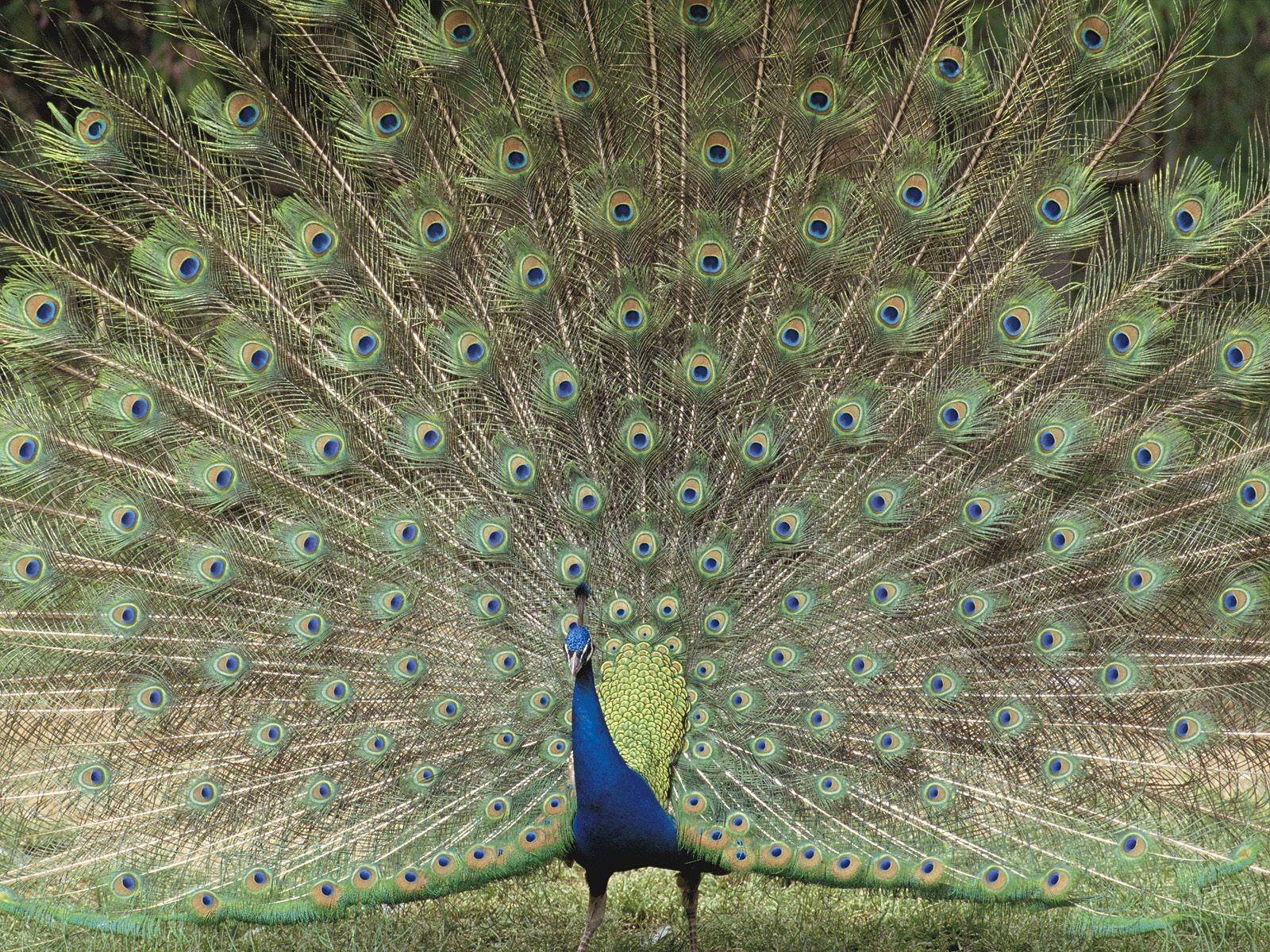 Majestic HD Peacock