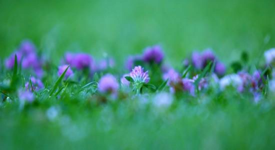 Windows-7-purple-flower-wallpaper