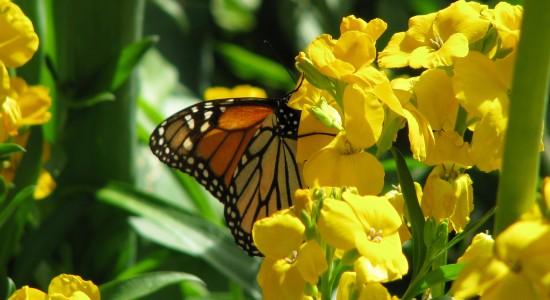 Butterfly-Windows-7-wallpaper