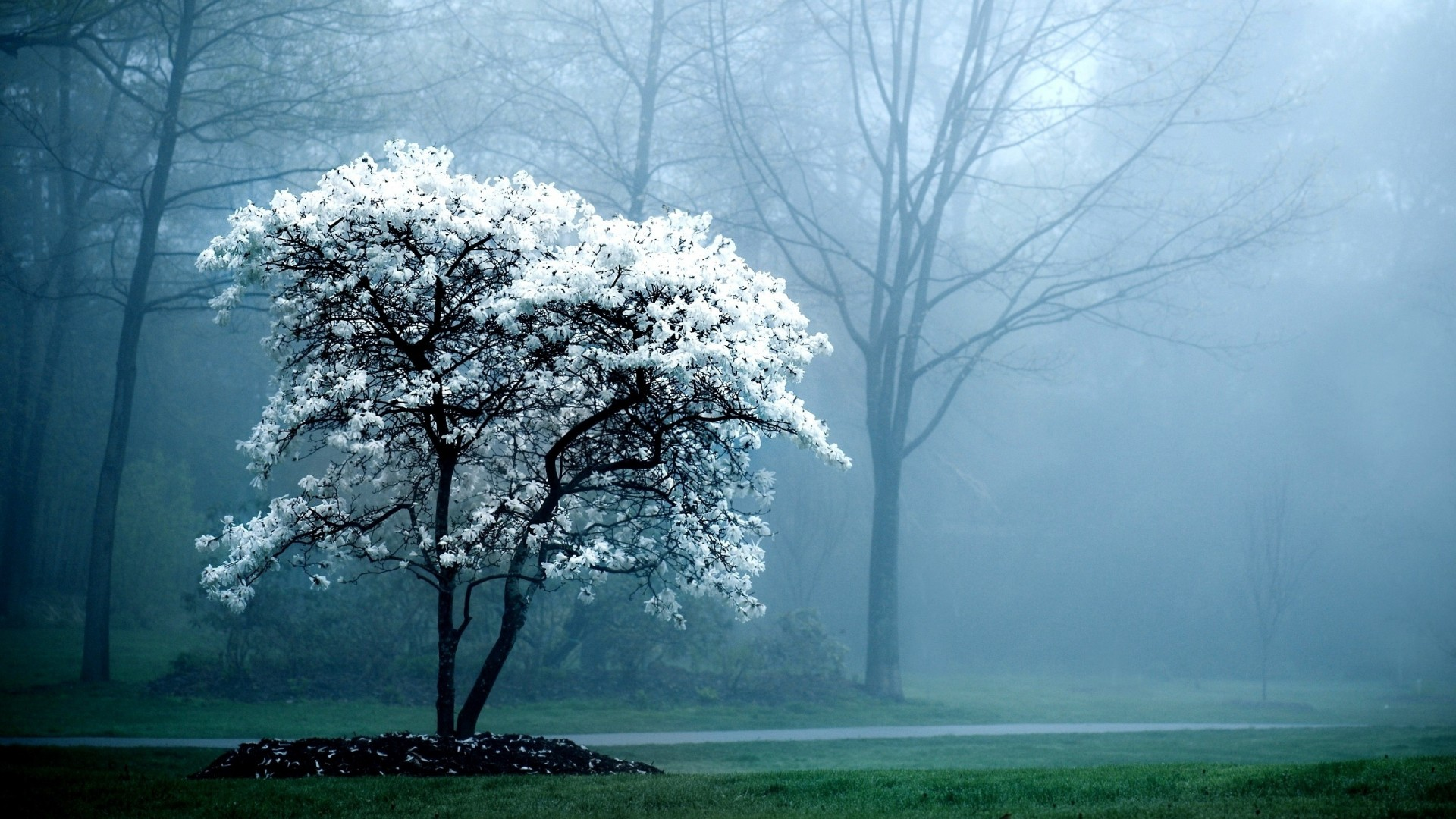 Lone Snow White Tree Hd Wallpapers