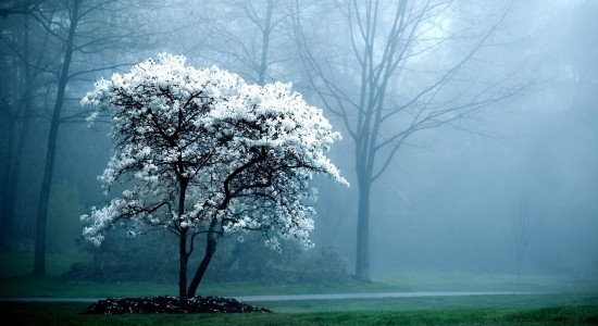 Lone Snow White Tree