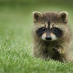 Cute Baby Raccoon Wallpaper
