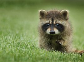 Cute Baby Raccoon Wallpaper