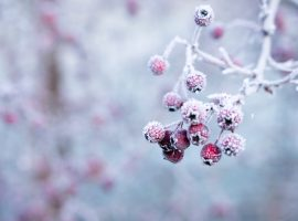 Frozen Berries HD Wallpaper