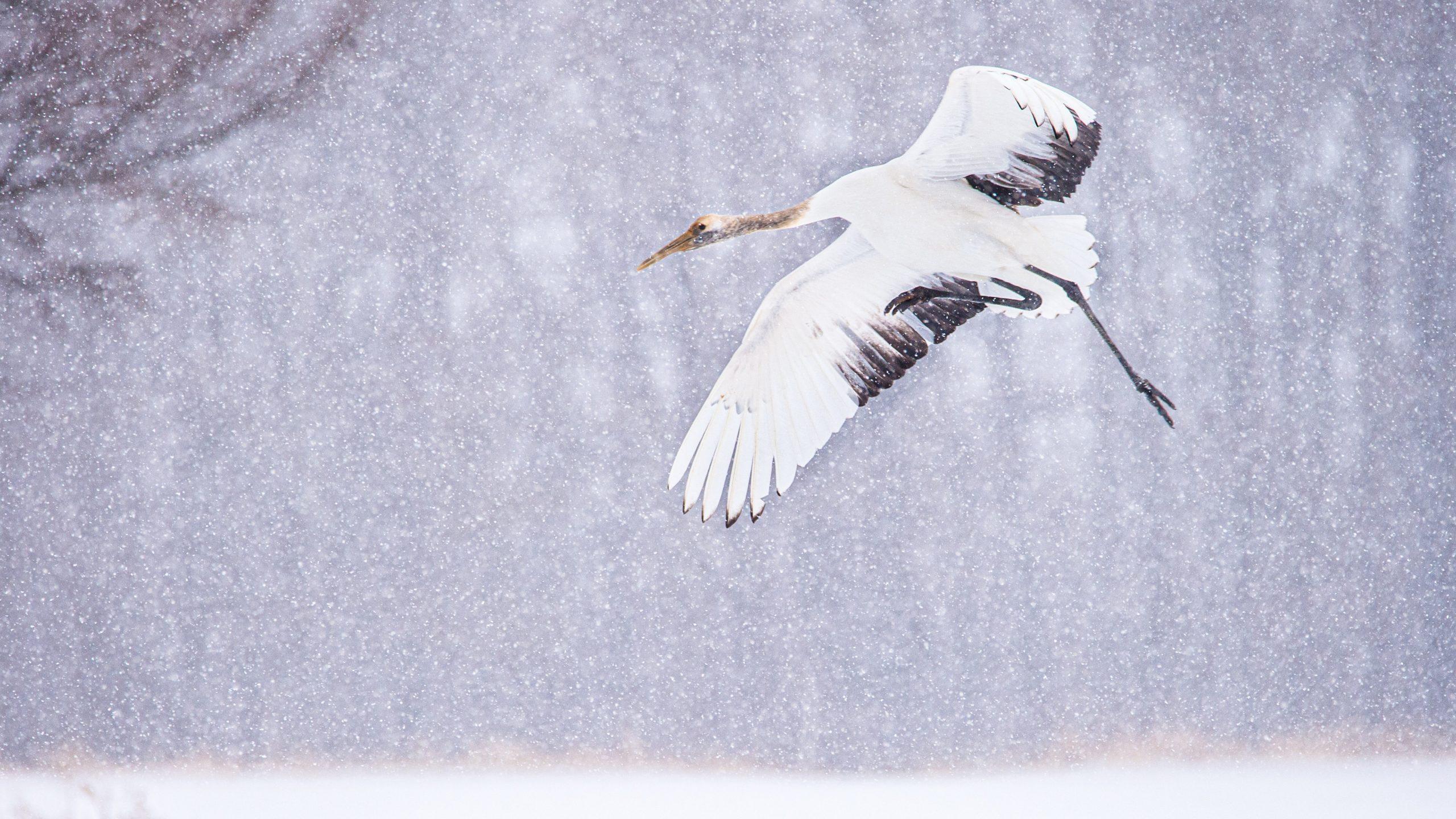 Juvenile Crane HD Wallpaper