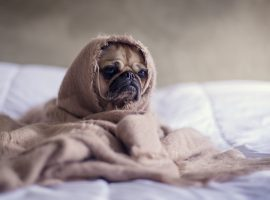 Pug in a Blanket Wallpaper