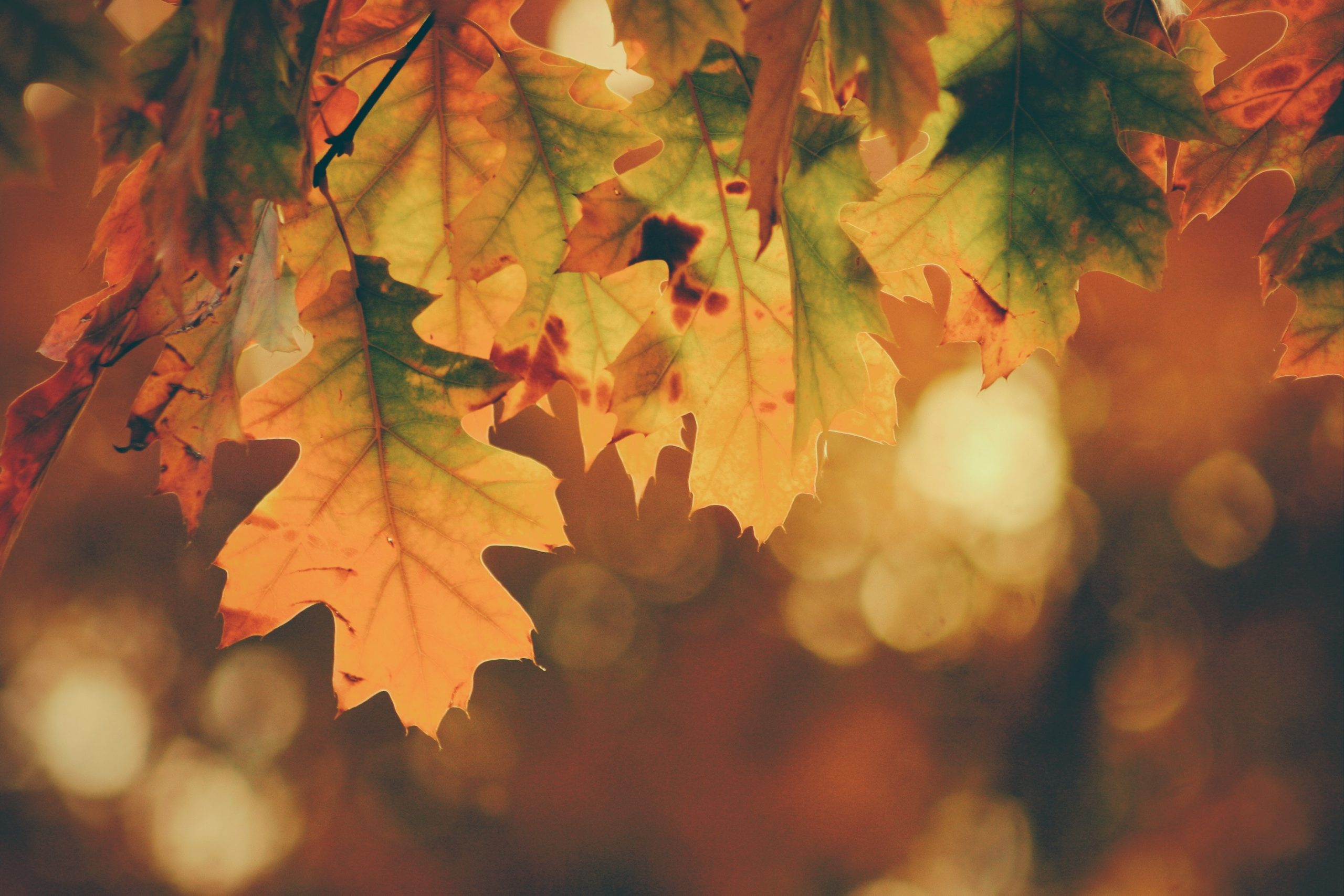 Sun Shines Through Autumn Leaves