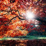 Tree with Red Leaves Wallpaper