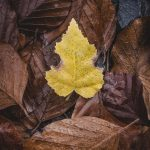Yellow Autumn Leaf Wallpaper
