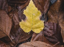 Yellow Autumn Leaf Wallpaper